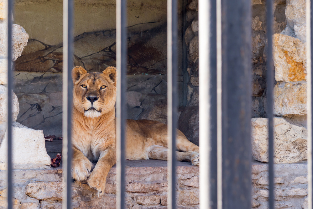 Photo of a lioness staring out from her cage